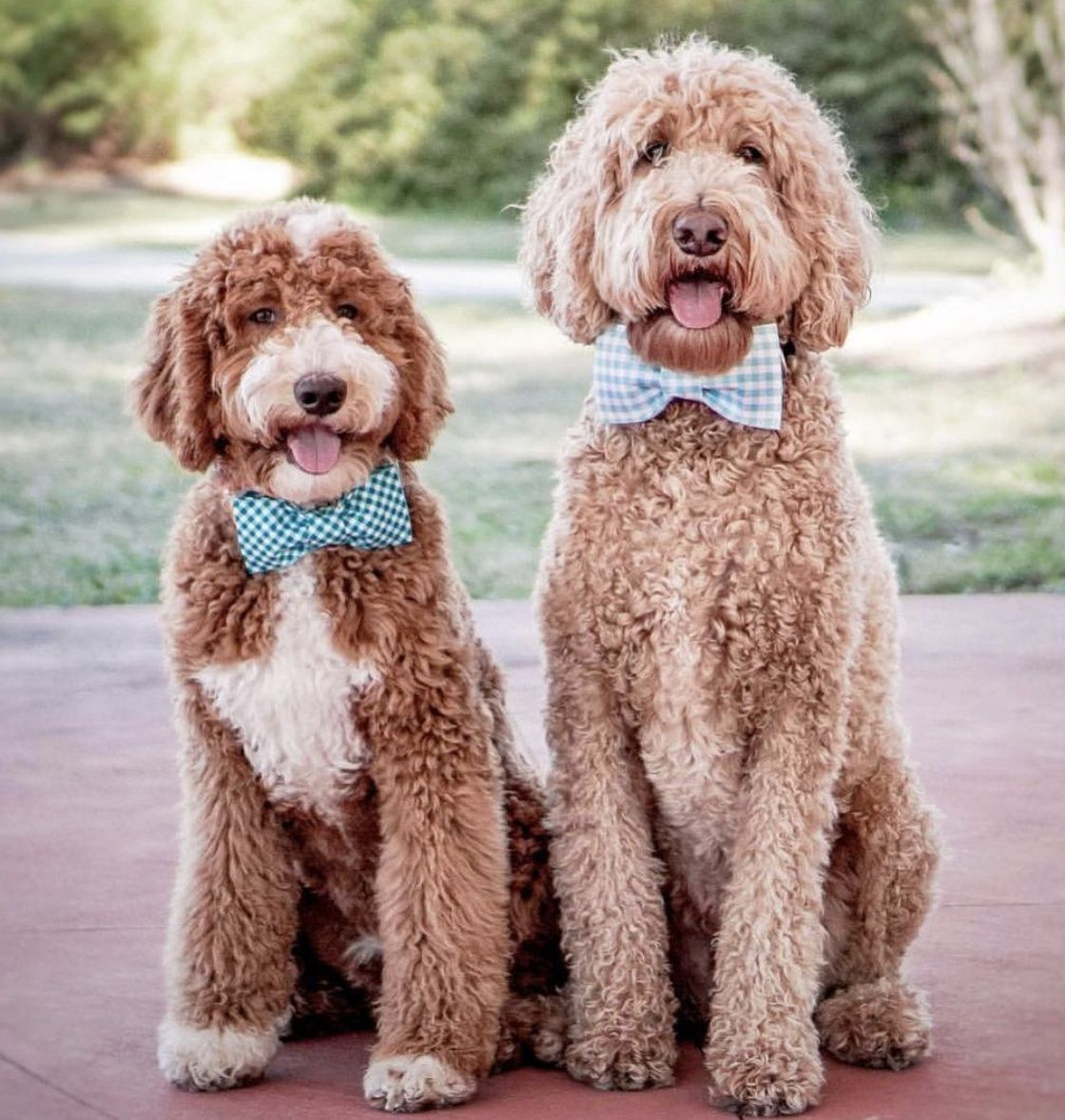 Puddle Jumper Pets Bow Ties Doodle Dog Dog Training Near