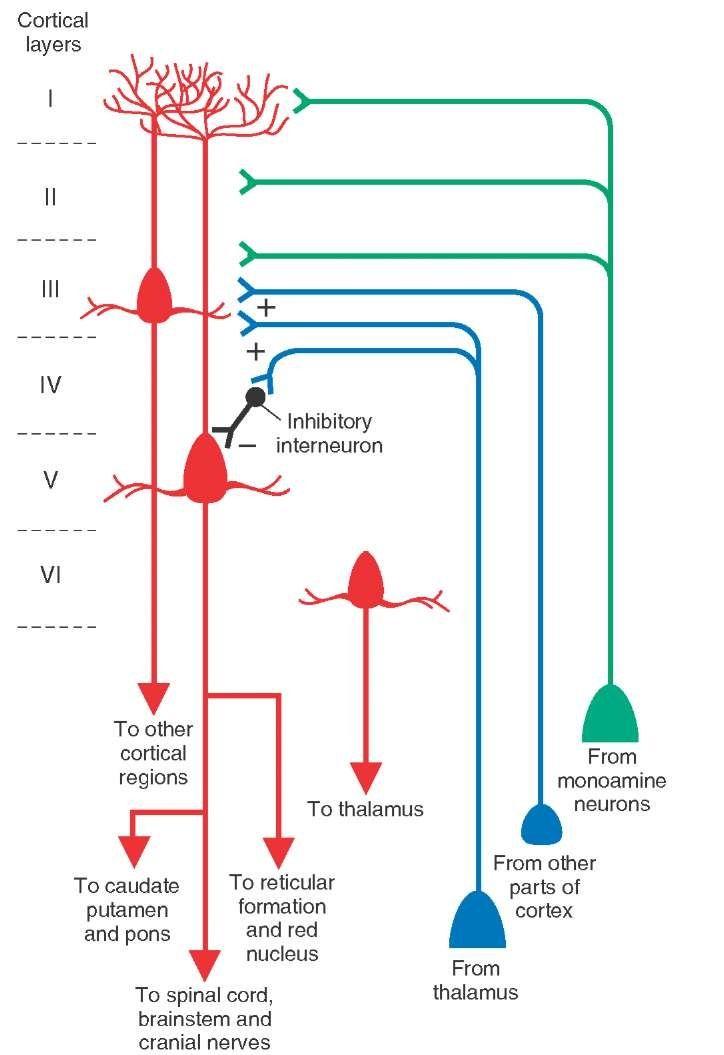 6 Cortex Layers: Inputoutput relationships of cortex