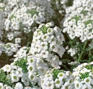 Snow Princess™ Alyssum  (Lobularia hybrid 'Inlbusnopr')- long blooming, heat tolerant, good in planters or as groundcover, fast growing