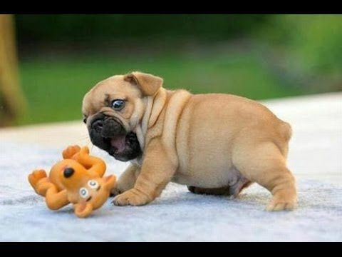 Best Cute Funny Puppies Compilation Cute Animals Cute Pugs