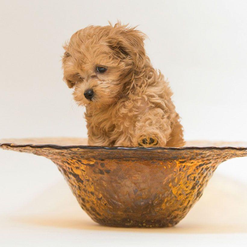 Maltipoo Puppies For Sale Near Me Maltipoo Puppies For Sale Maltipoo Puppy Poodle Puppies For Sale