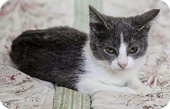 Los Angeles Ca Domestic Shorthair Meet Brandy A Kitten For Adoption Kitten Adoption Buy A Kitten Kitten