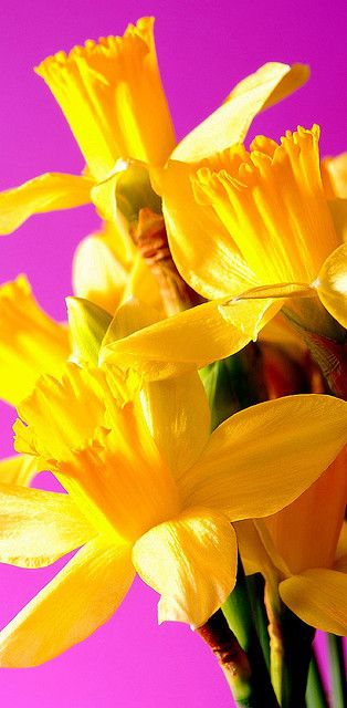 Daffodils! They've Always Been Cheerful & Beautiful. They