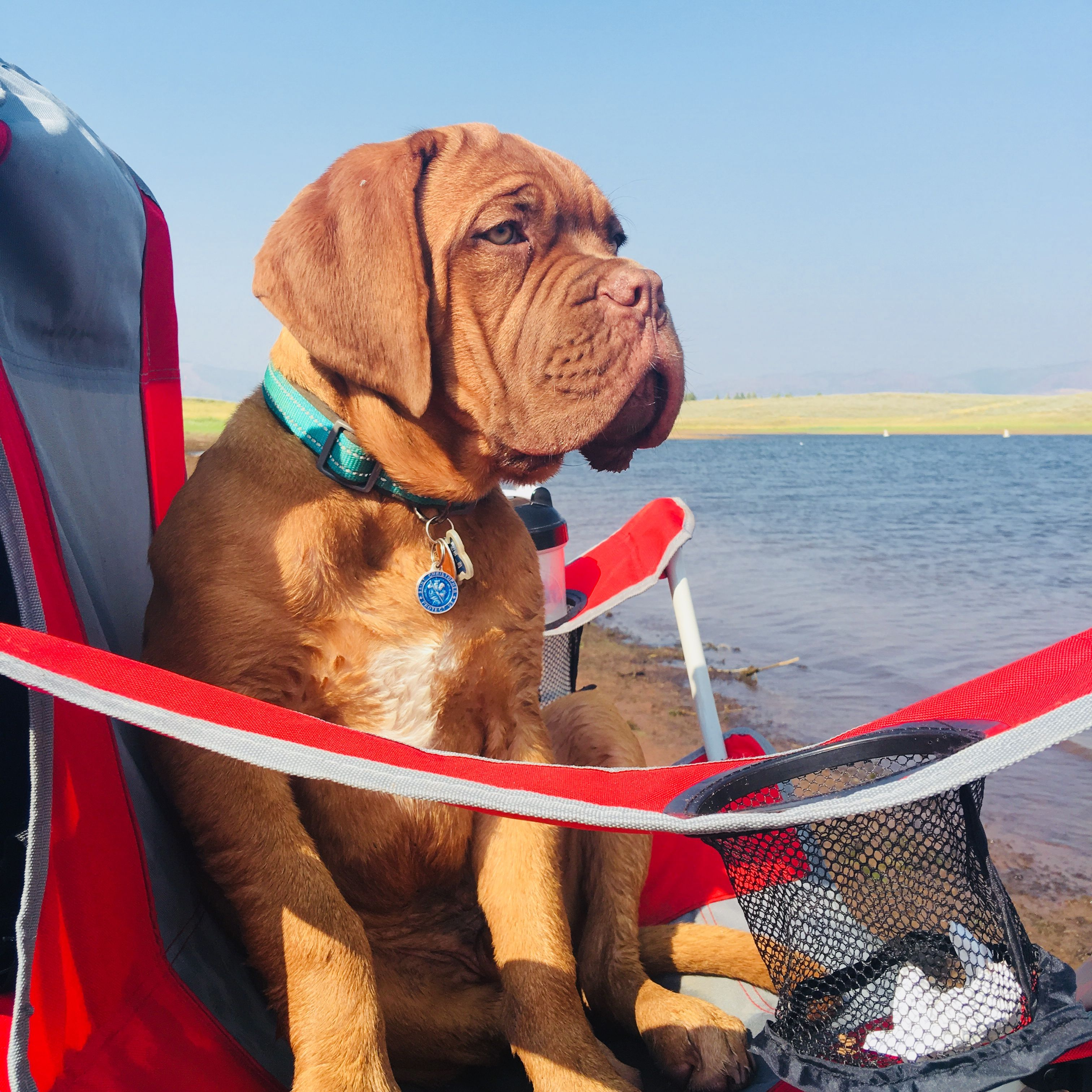 Cray Fishing At Strawberry Moses Had His Own Chair French Mastiff 17 Weeks Dogue De Bordeaux Mastiff Puppies Bordeaux Dog English Mastiff Dog