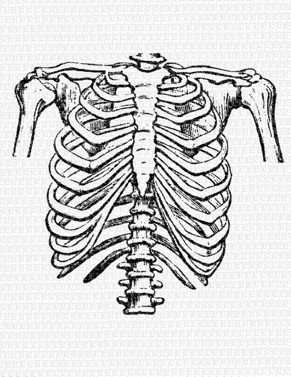 Human Rib Cage Frontal Position Vintage Clip Art Illustration