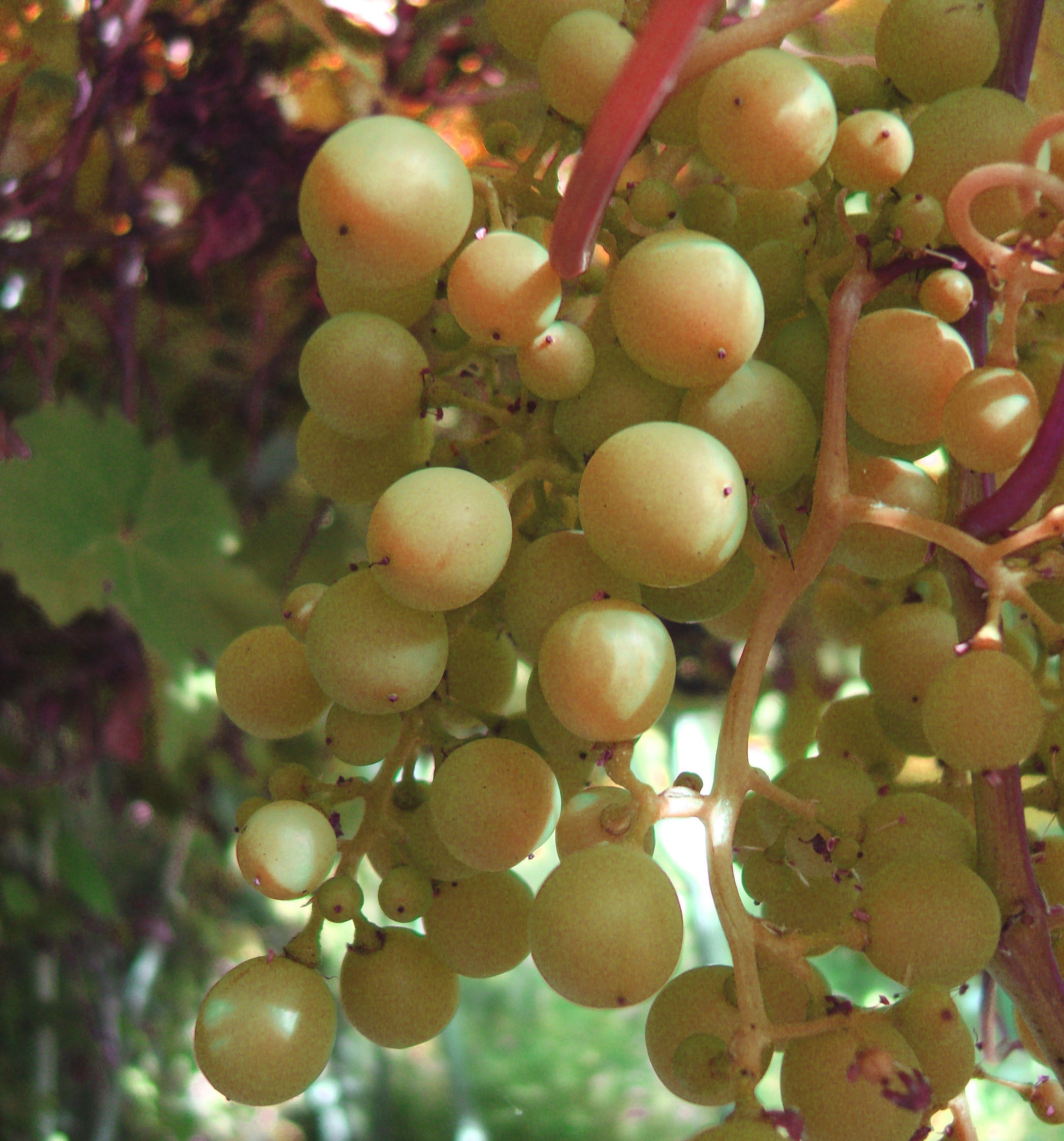 Ripening grapes- English cottage garden | Gardeners Fantasy | Pinterest
