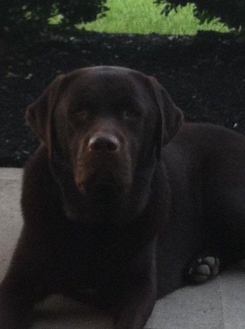 This Is What I Want English Labrador Labrador Retriever Dog Labrador Retriever