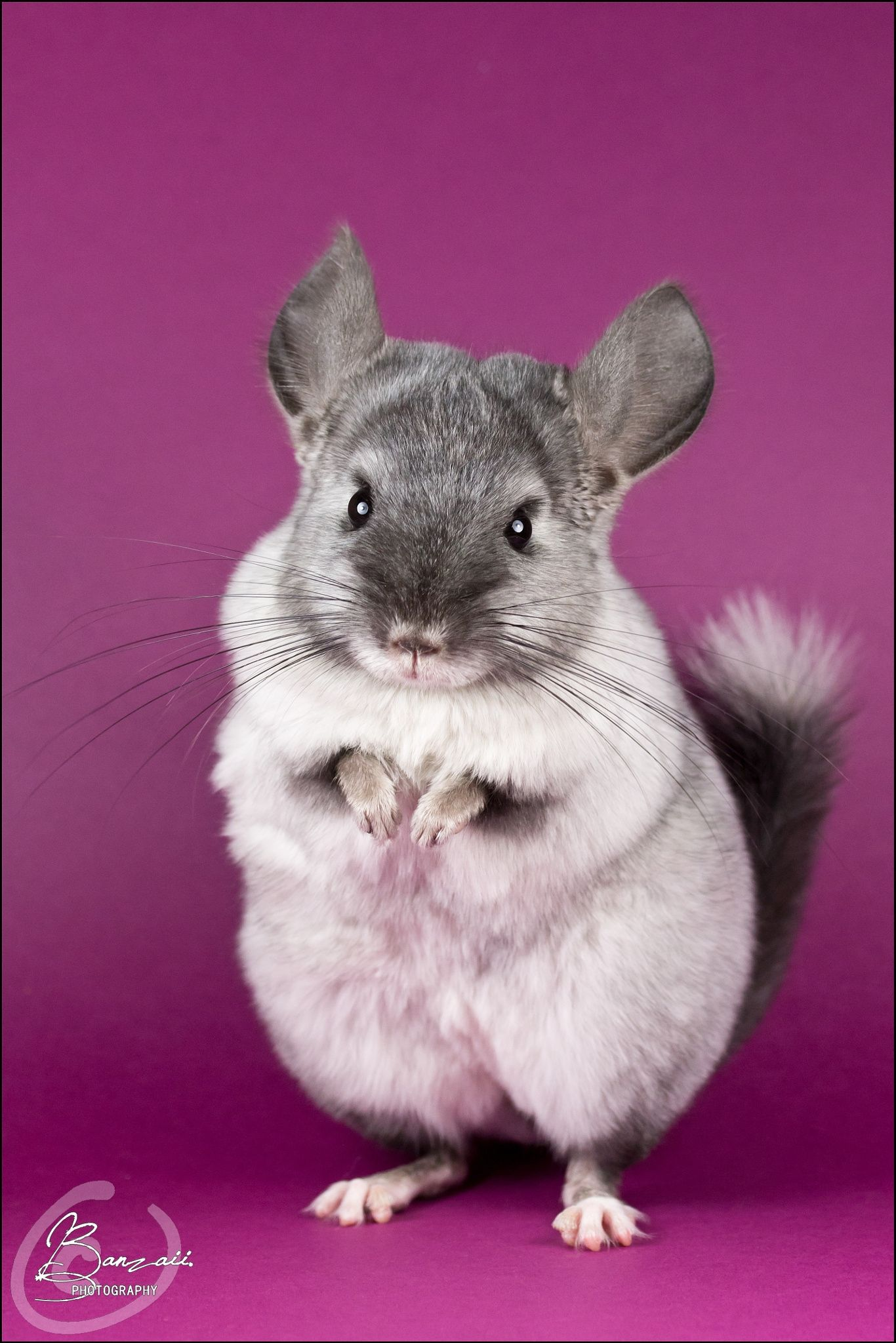 Chinchilla Aquarelle Rodent All Images C By Katheleen Lemaire Banzaii Photography You Ma Cute Animals Animals Beautiful Interesting Animals