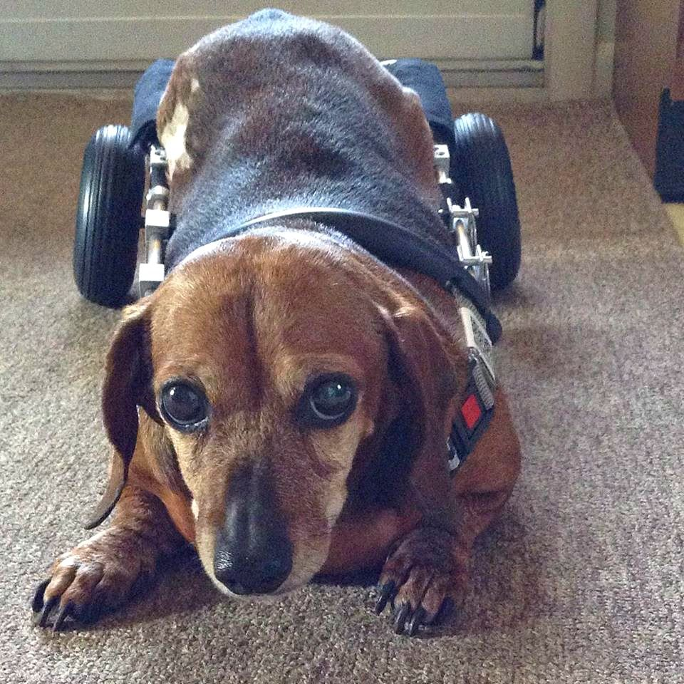Can Dogs In Wheelchairs Lay Down