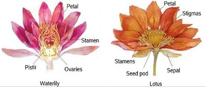 What Is The Difference Between Water Lily And Water Lotus