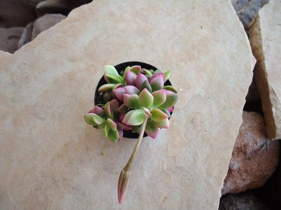 Variegated Anacampseros Sunrise Pink Lime and by SucculentDESIGNS, $3.99