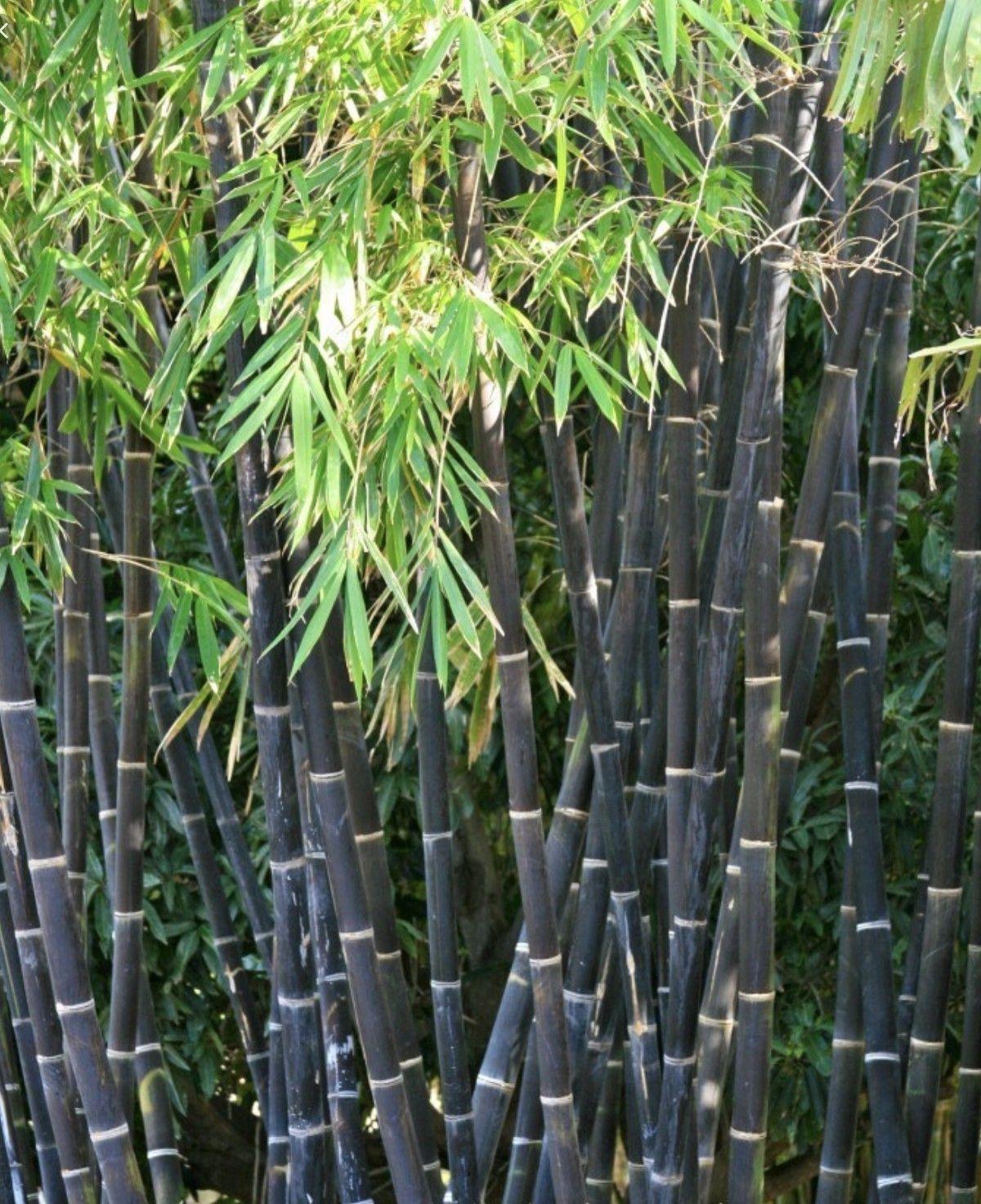 Bamboo Grove Bamboo Plants Bamboo Garden Bamboo Landscape