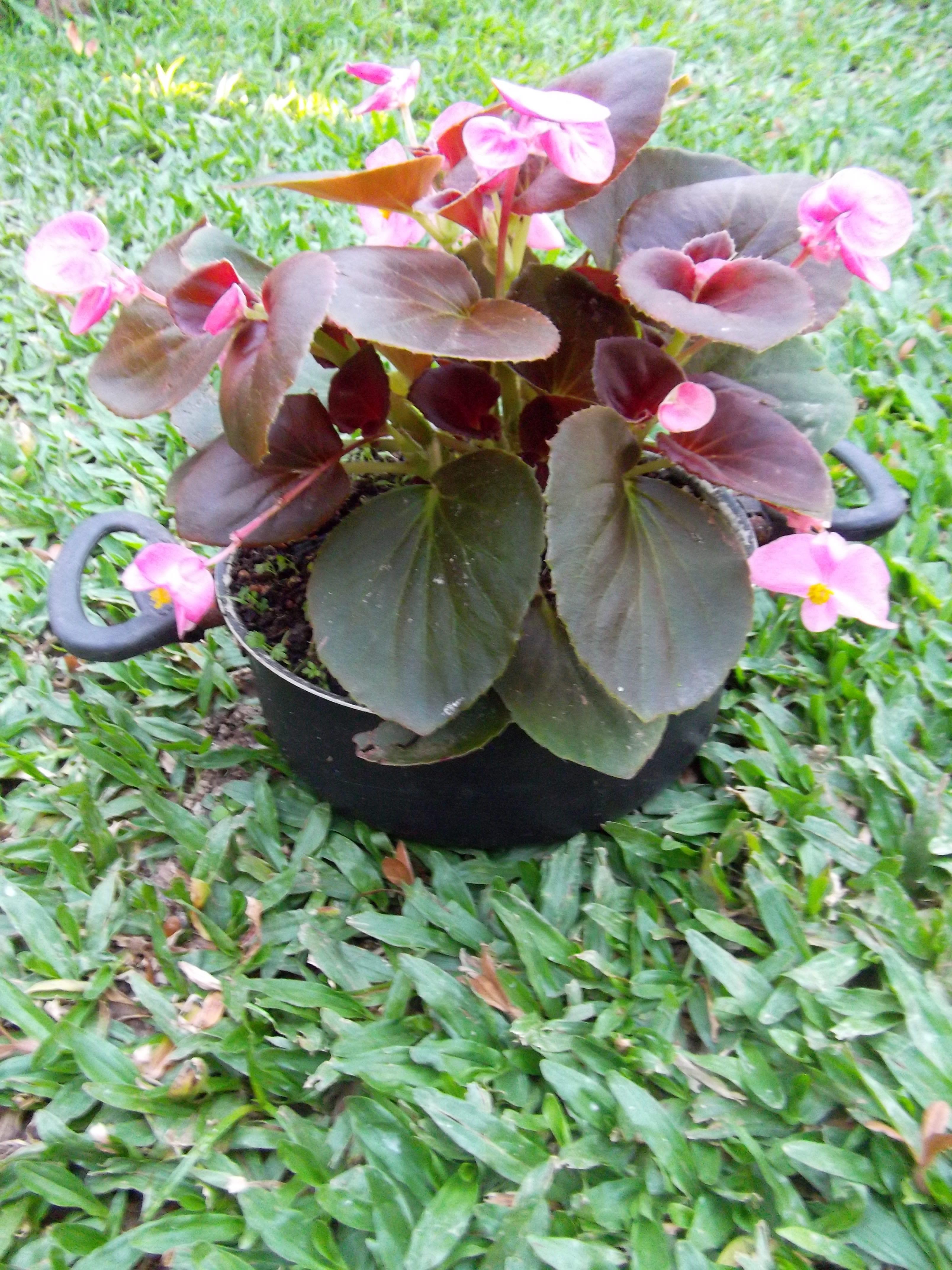 Begonias Begonias Plantas Domesticas Decoracao Com Plantas