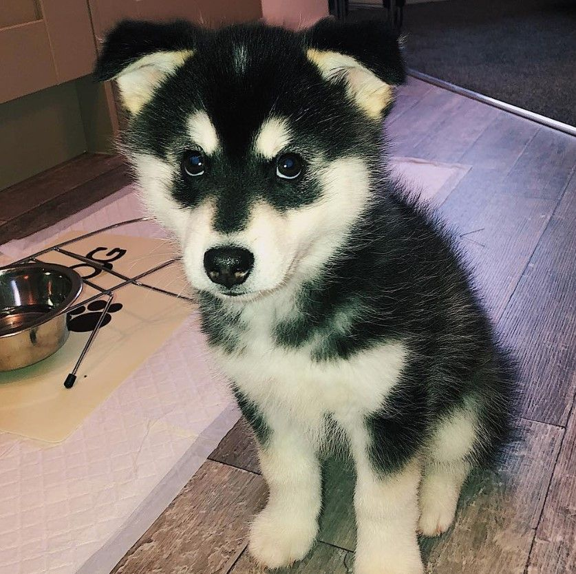 Pin By Thepaws Net On Pomskys W A Few Huskies Pomsky Dog Dog Names Dogs