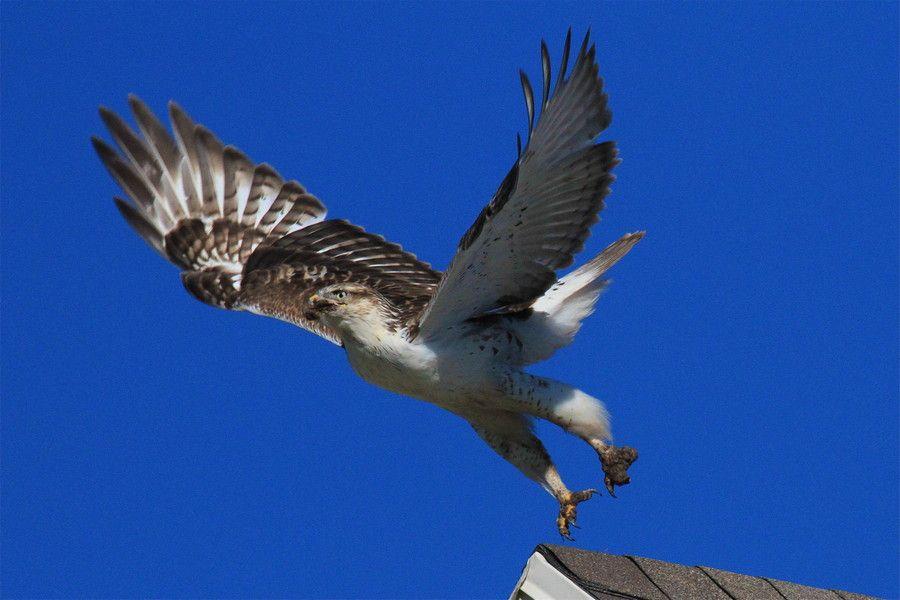 Ferruginous Hawk by Paul Marto on 500px