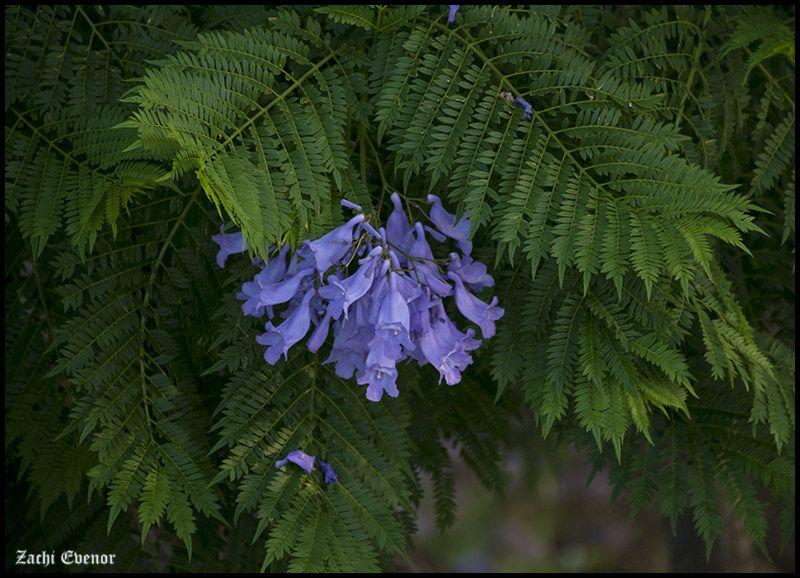Image Result For Jacaranda Mimosifolia Leaves Plants Leaves Garden