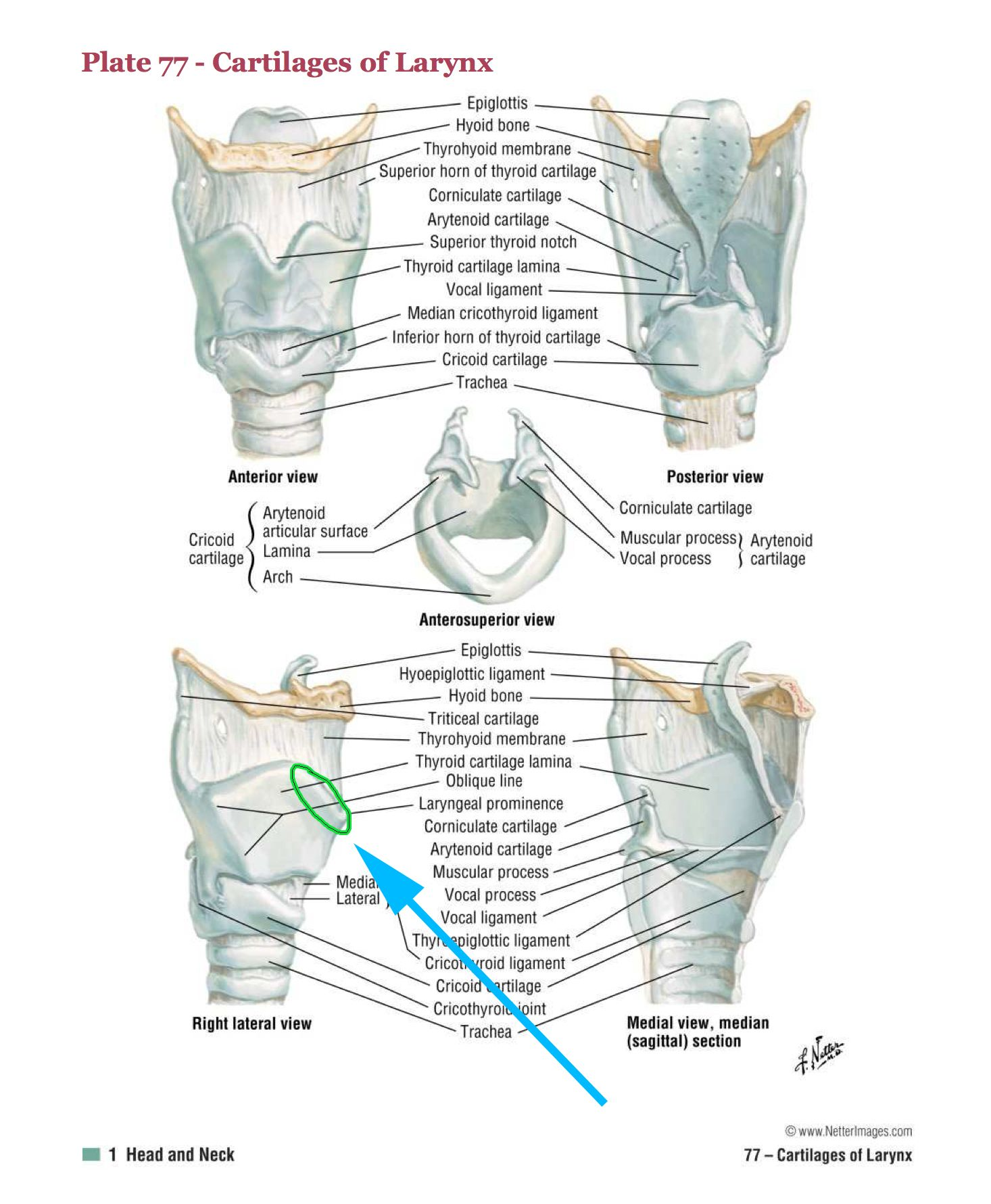 Fantastic Thyroid Location Sketch - Human Anatomy Images ...