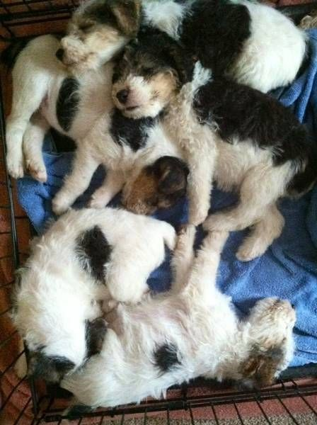#Wirehaired fox terrier puppies #puppies