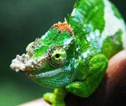 Fischer S Chameleon Home Chameleon Information Fischers