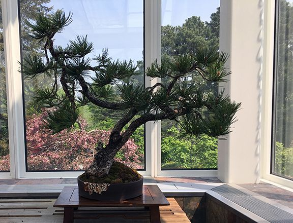 Limber Pine Bonsai At The Minnesota Bonsai Society 2016 Mother S Day Show Bonsai Pine Bonsai Bonsai Tree