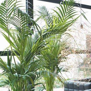 plantas interior kentia h - Plantas Verdes De Interior
