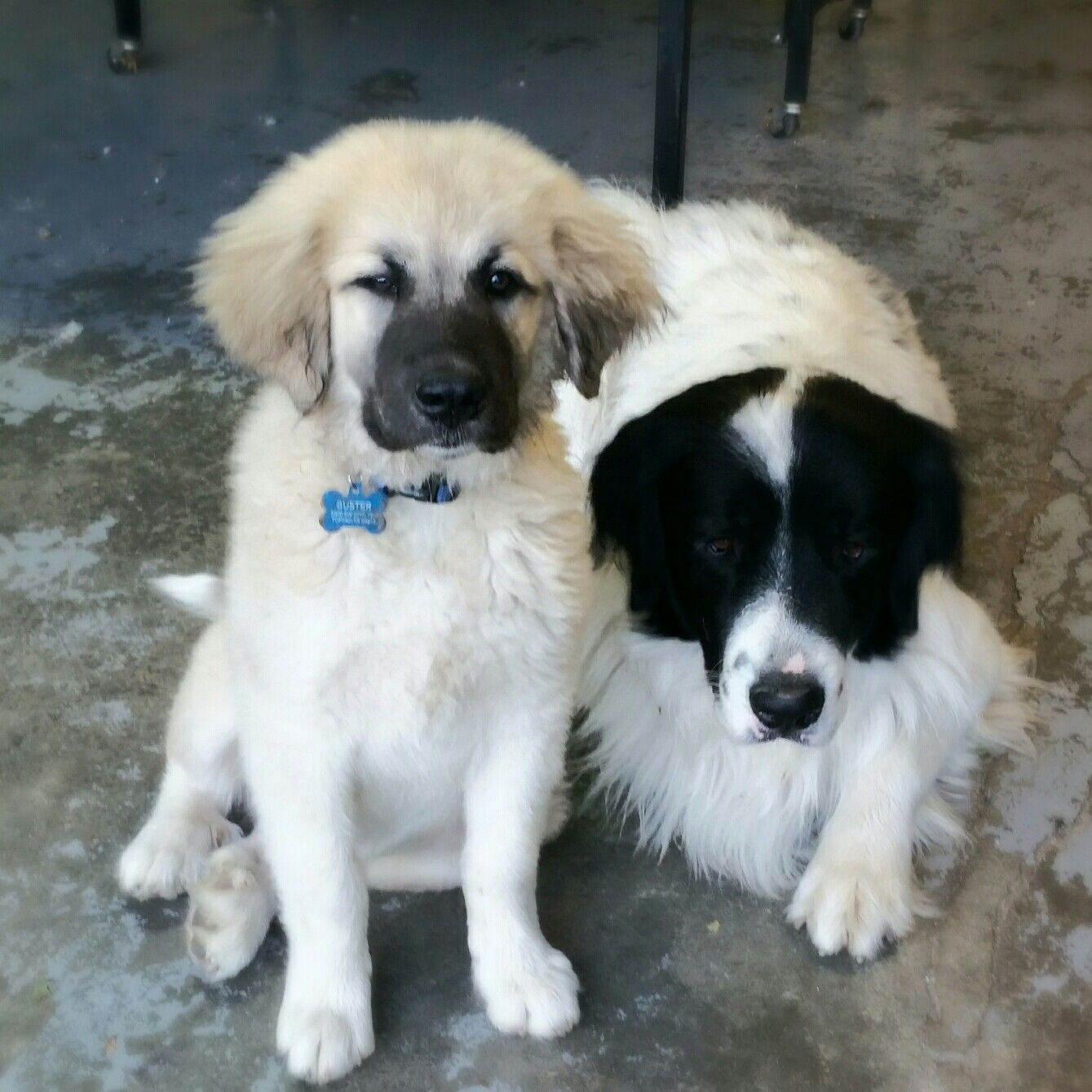 Great Pyrenees Newfoundland Great Pyrenees Mix Love These Guys