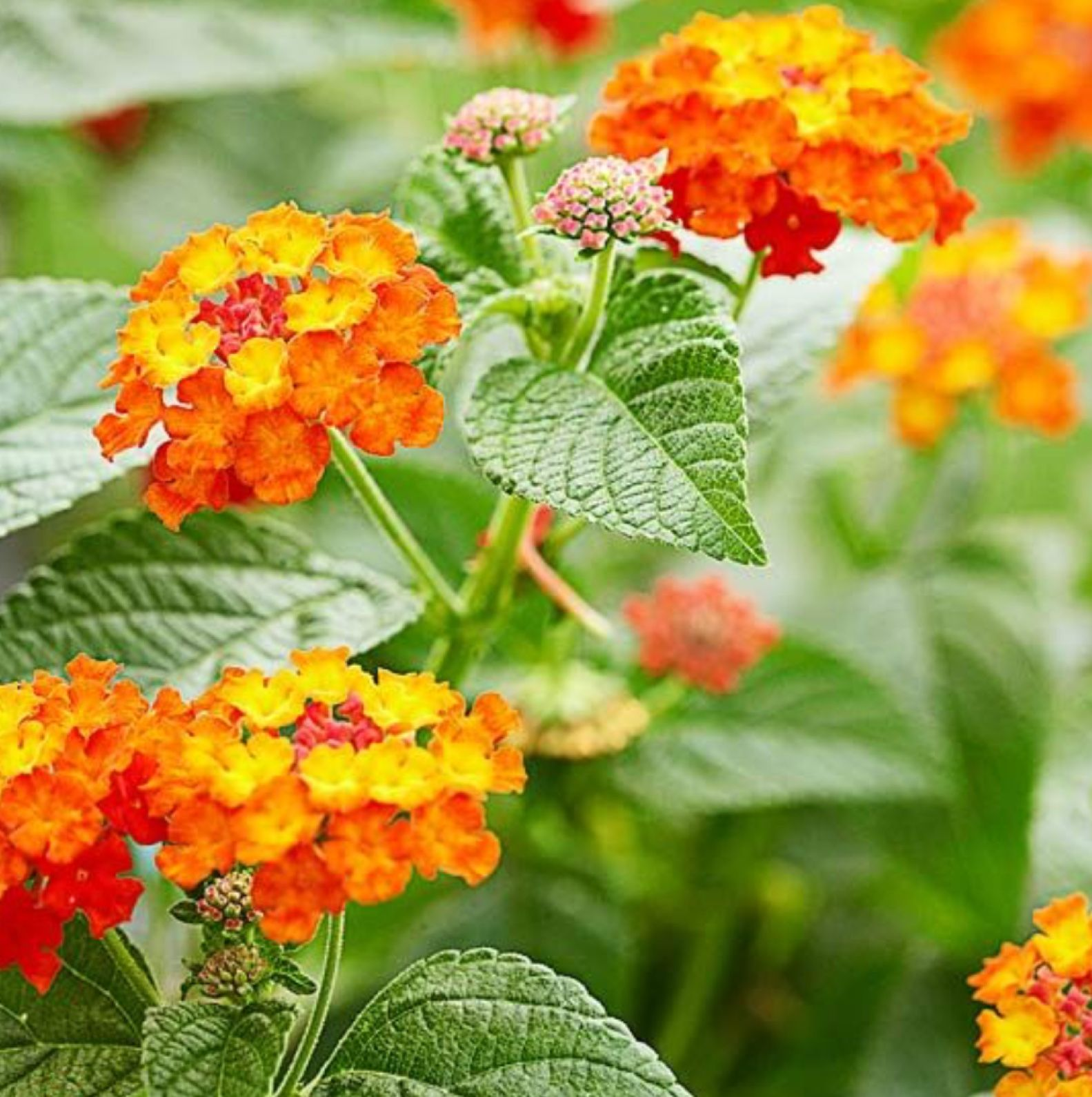 Lantana A Butterfly Plant Grows Wild In Florida Plants Beautiful Flowers Seaside Garden