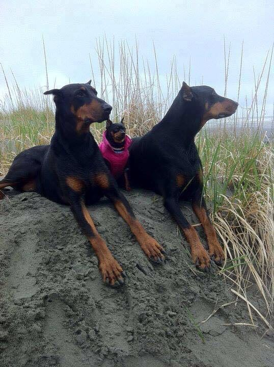 One Of These Things Is Not Like The Other Dobermann