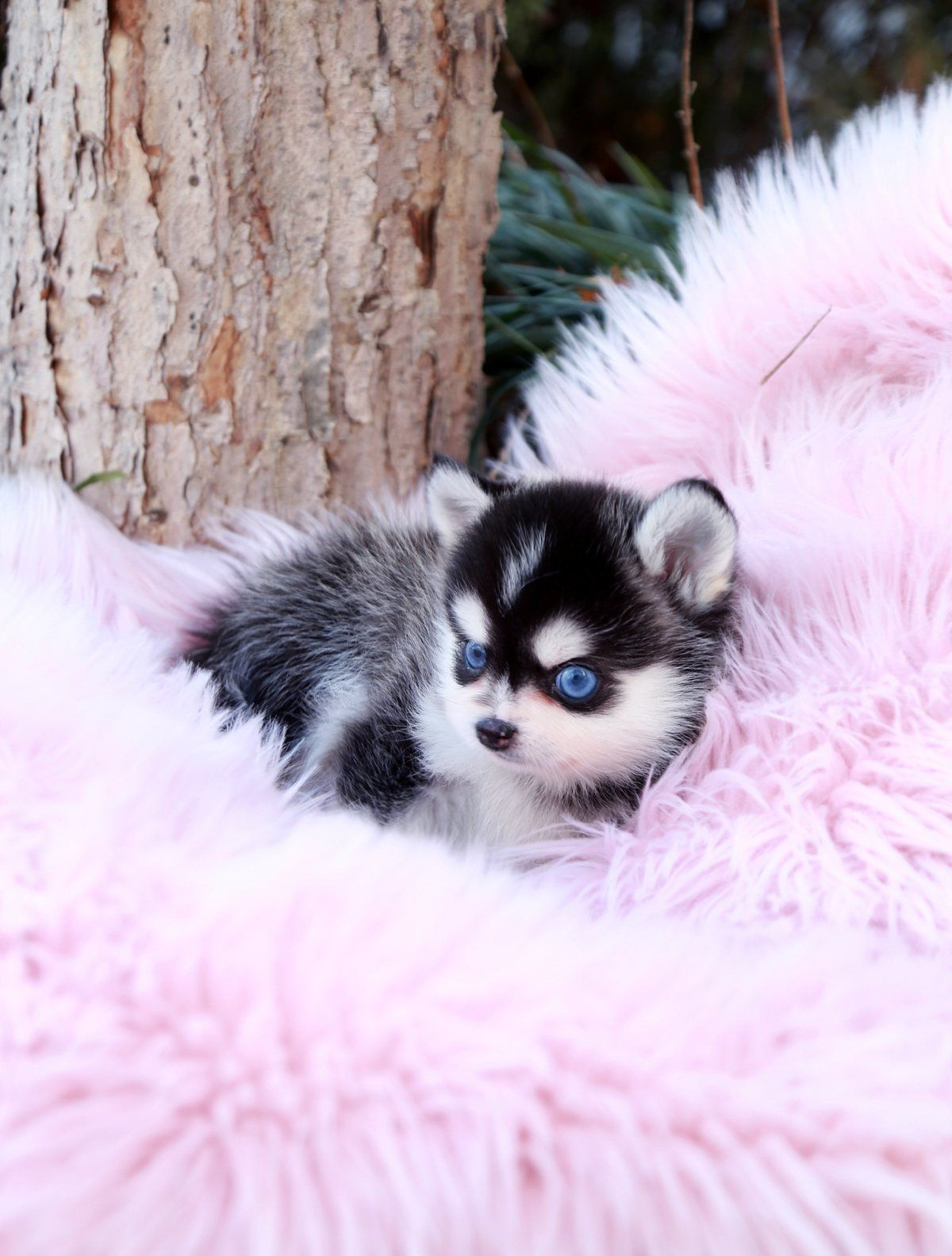 Teacup Puppies For Sale Teacup Puppy Miniature Toy Dogs Foufou Puppies In 2020 Pomsky Puppies Teacup Puppies Really Cute Puppies