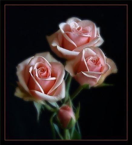 Tres rosas en fondo negro