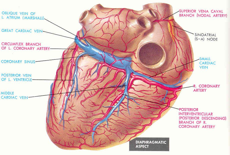 Coronary Arteries And Veins Of The Heart Posterior View Nursing