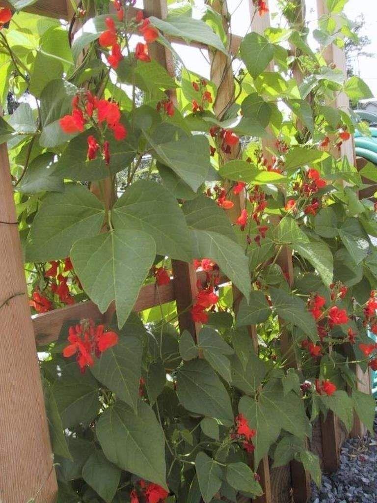 scarlet runner beans on scarlet emperor runner bean beautiful red flowers edible pods growing green beans scarlet runner beans runner beans scarlet emperor runner bean beautiful