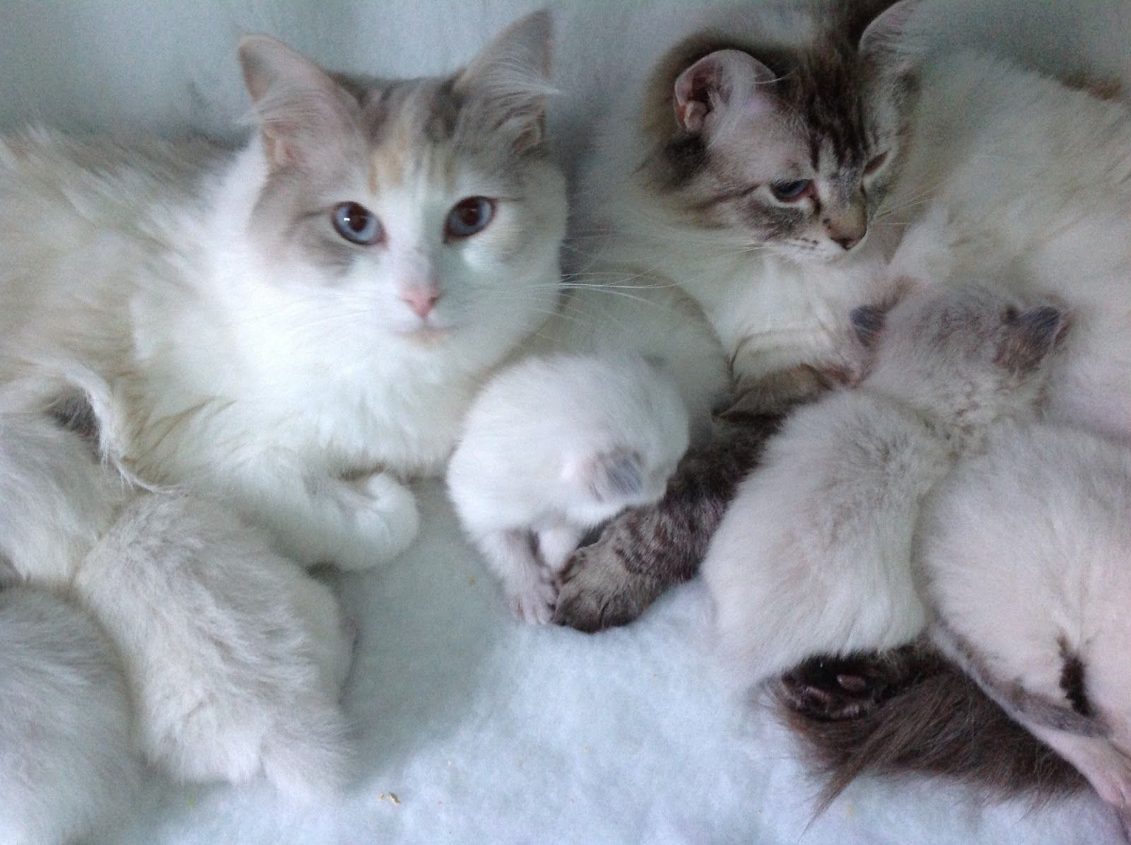 Tz Katz Ragdoll Cats And Kittens They Grow So Fast Tinks Baby Is A Week Old And The Others Are Coming Up 3 In 2020 Ragdoll Cat Cats And Kittens Cats