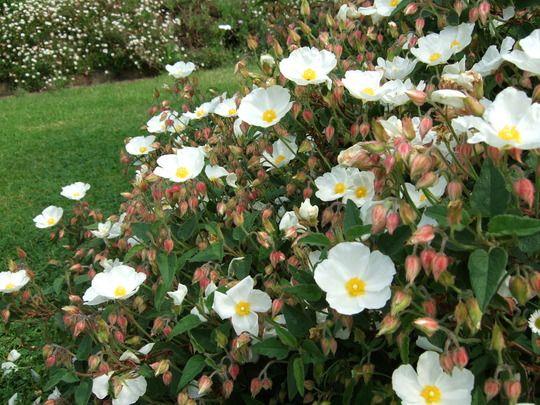 Cistus Hybridus Corbariensis White Rockrose 18