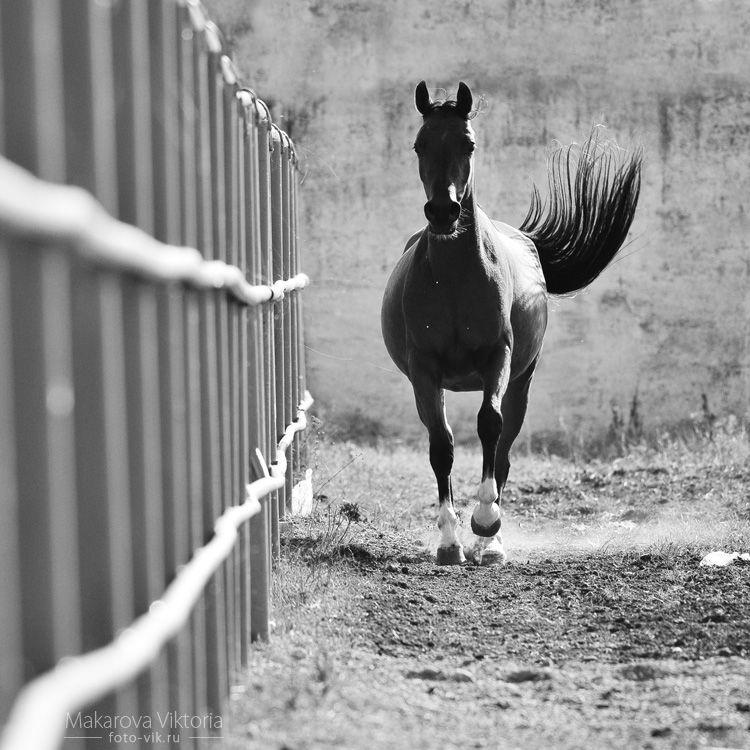 bw arabian horse