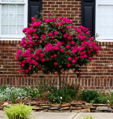 Knock Out 174 Rose Tree Landscaping And Flower Gardening