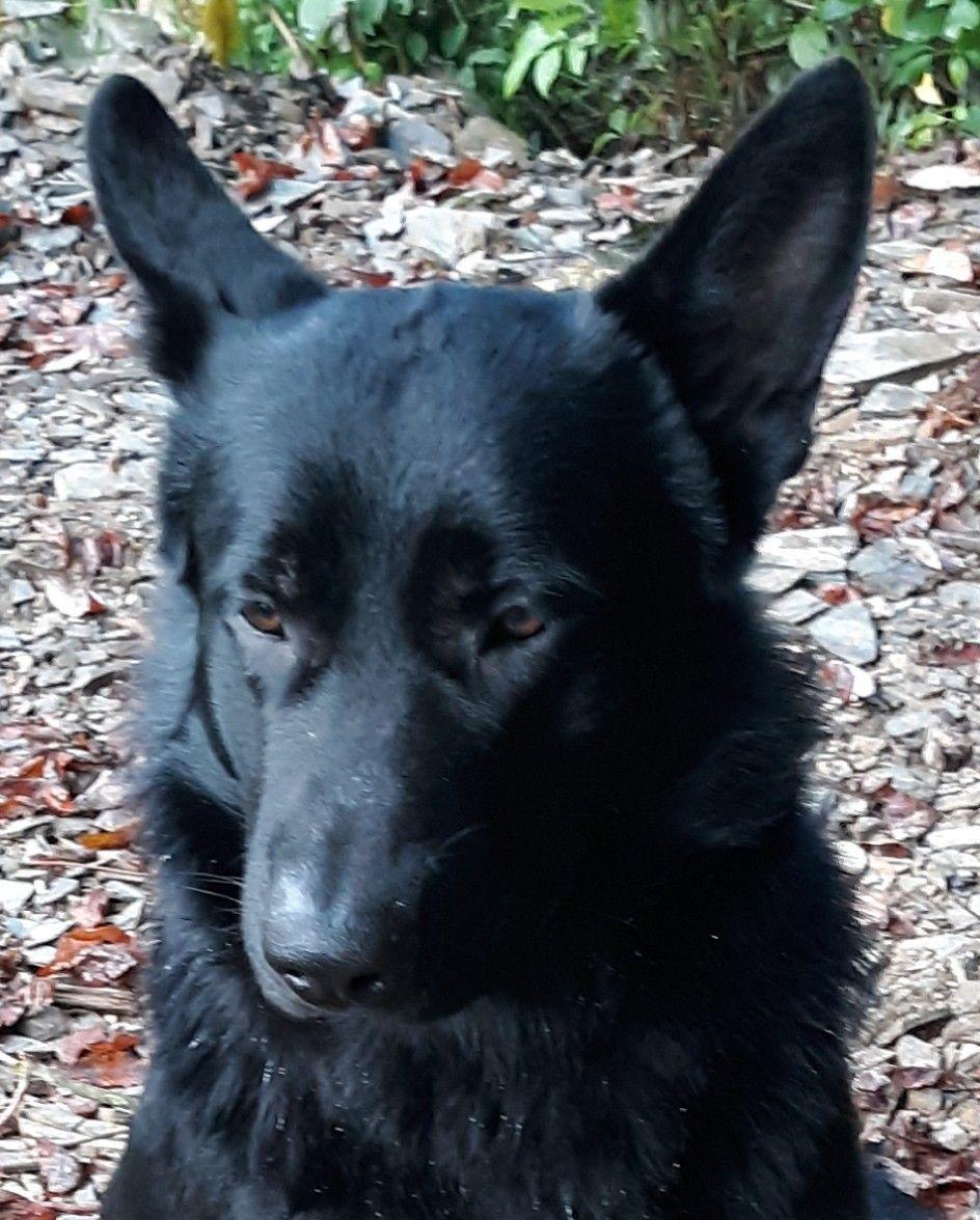 Pin By Lestershelley On Black German Shepherd Black German Shepherd Dog Black German Shepherd Black Dog