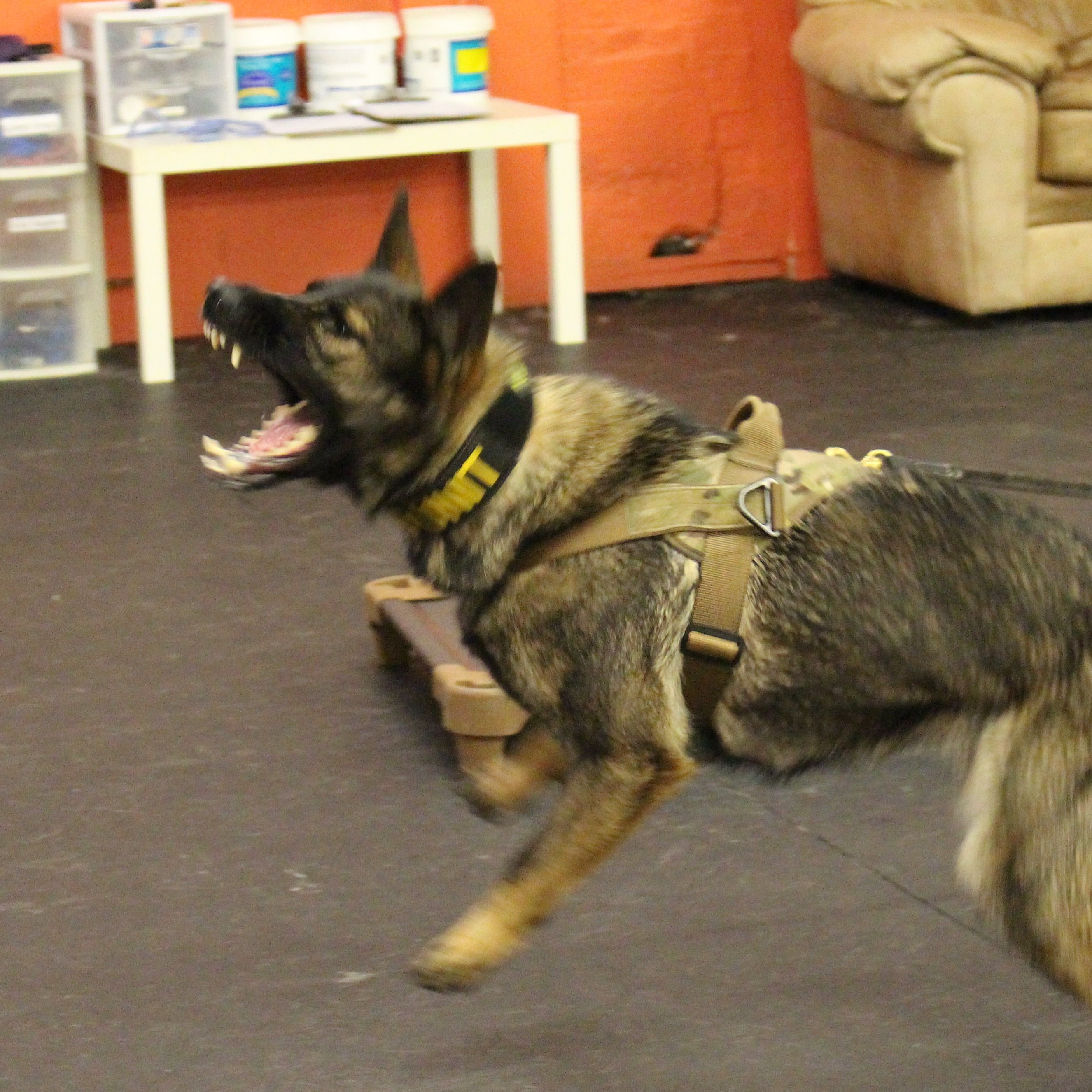 Kyra Gsd Working On Her Bark Command Military Dogs Dog Training