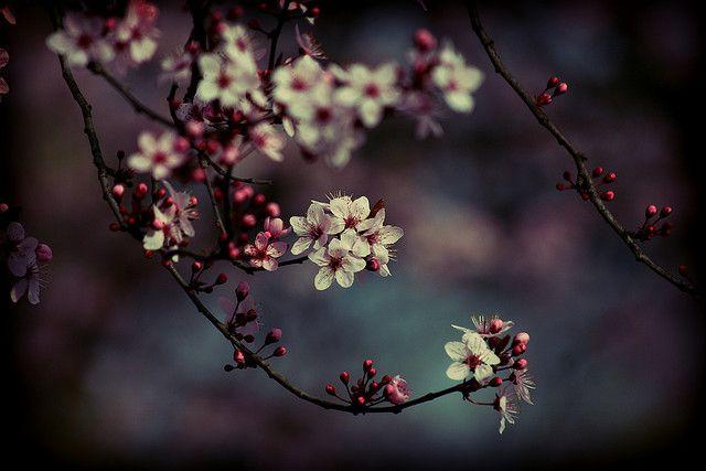 E Dogwood Blossoms Japanese Cherry Blossom Blossom