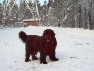Newfoundland Dog in Finland