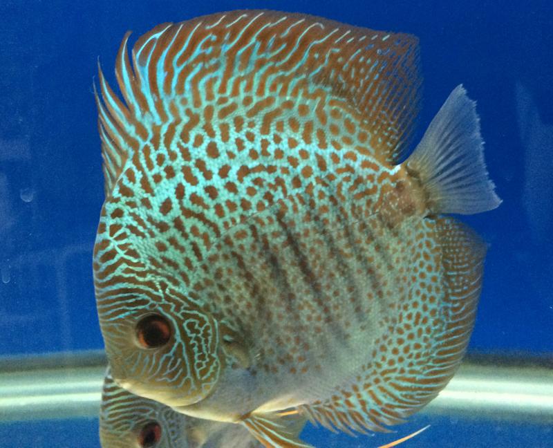 BLUE SNAKESKIN DISCUS Discus fish, Cichlids, Discus