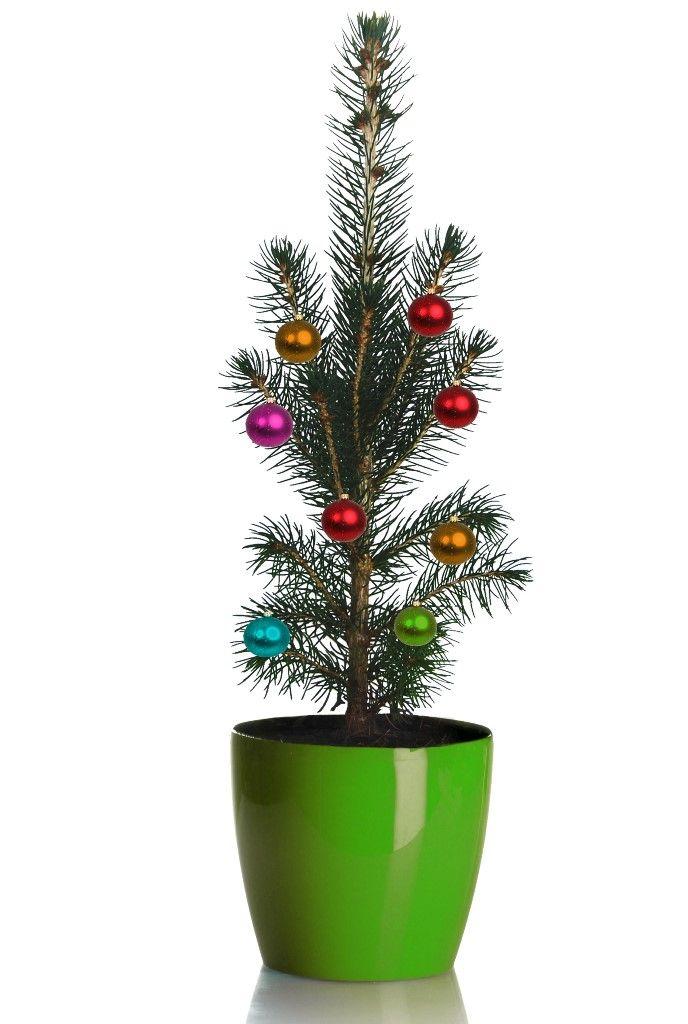Grow Your Own Mini Living Christmas Tree | Live christmas ...
