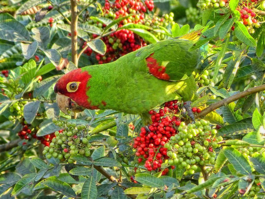 Peruvian Parrot - Pixdaus. Blending in.