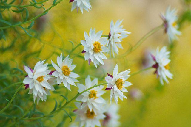 ローダンセ・ペーパーキャスケード/Rhodanthe anthemoides 'Paper Cascade' by nobuflickr, via Flickr
