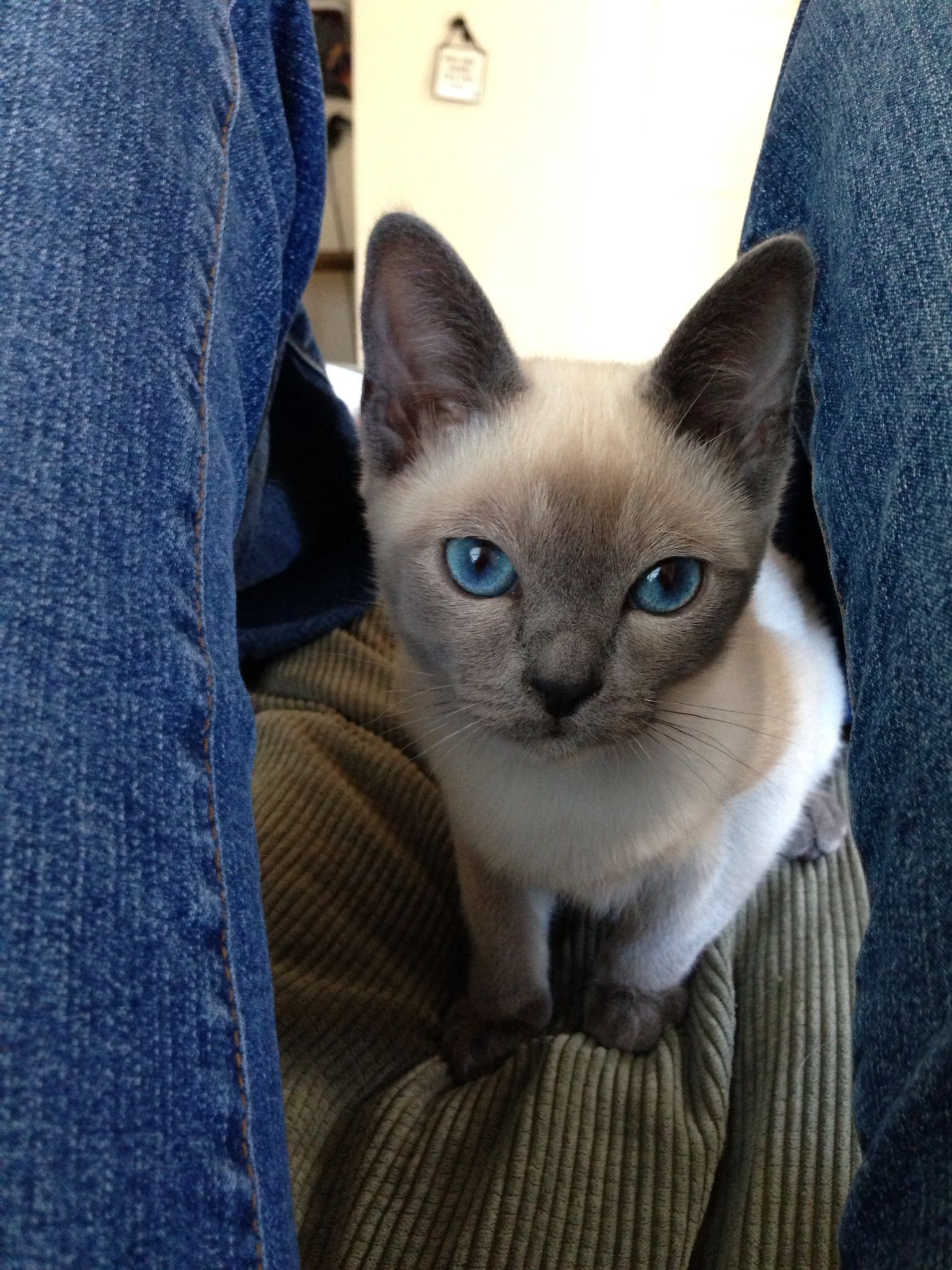 Little Boy Blue Tonkinese Cat Siamese Cats Kittens Cutest