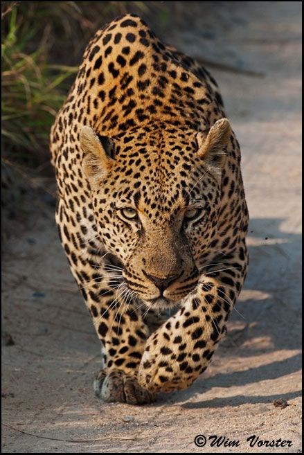 Africa leopard crawling male leopard stalking a herd for Outdoor photo south africa