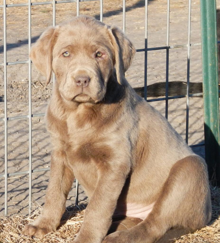The Labrador Retriever, also known as simply Labrador or