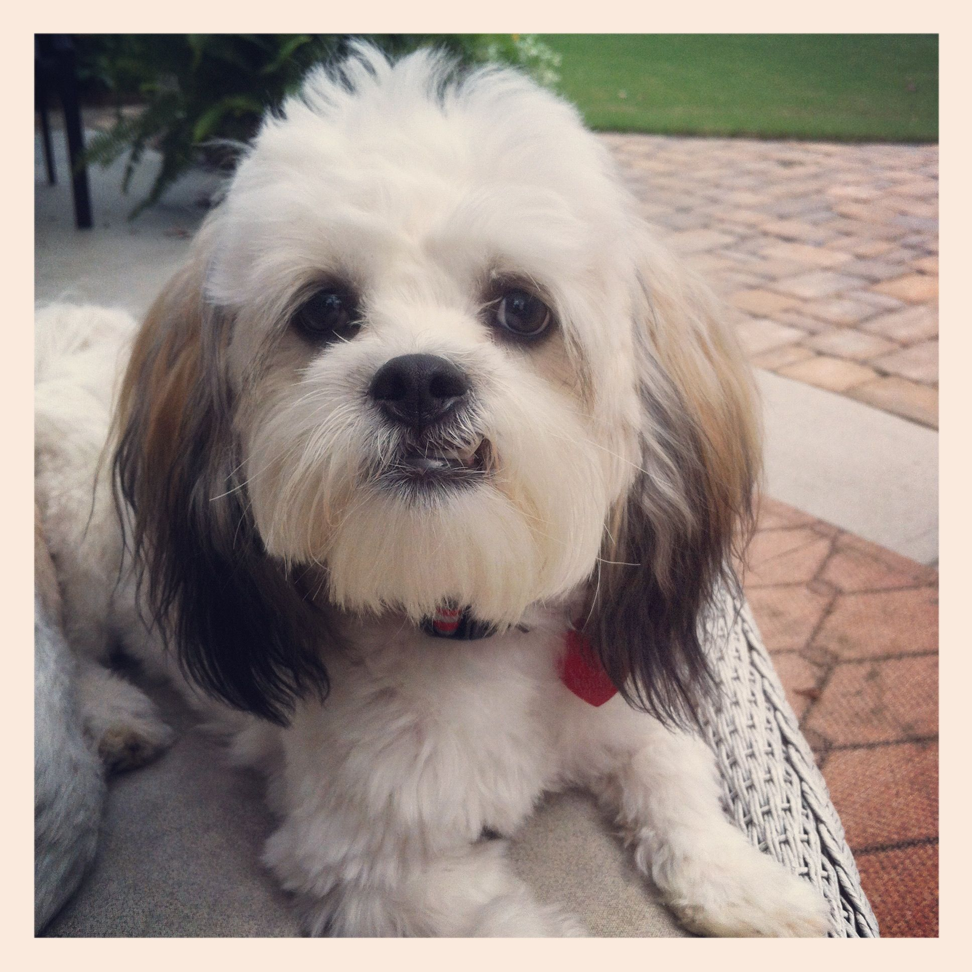 This Dog Seriously Looks Exactly Like My Dog Bandit A Bichon Shih