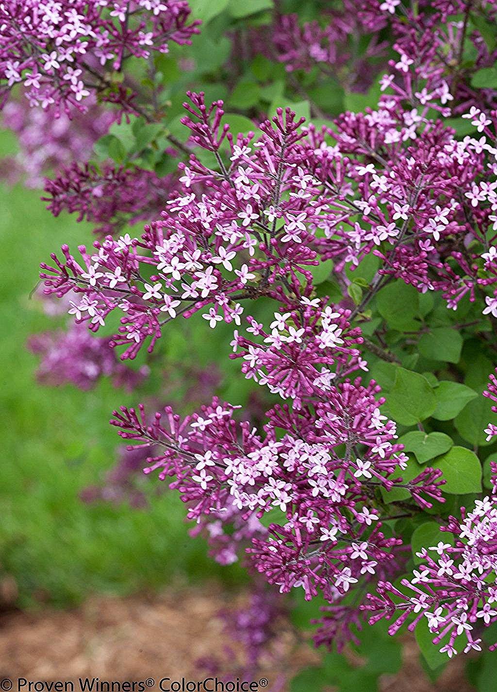 Bloomerang Dark Purple Syringa Lilac In 2020 Purple Plants Lilac Gardening Lilac Tree