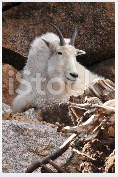 Mountain goat laying high on a cliff ledge. Photo is available at https://secure.istockphoto.com/photo/mountain-goat-laying-on-rocky-ledge-gm493576432-76962429 Photo copyright by Georgia Evans